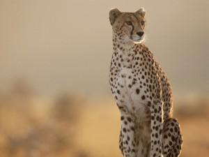 cheetah hluhluwe