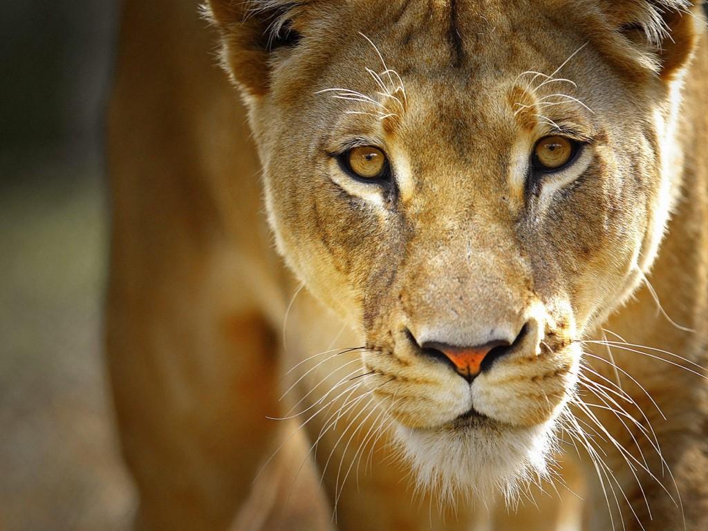 lioness hluhluwe