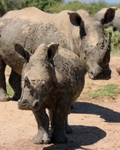 Baby Rhino imfolozi