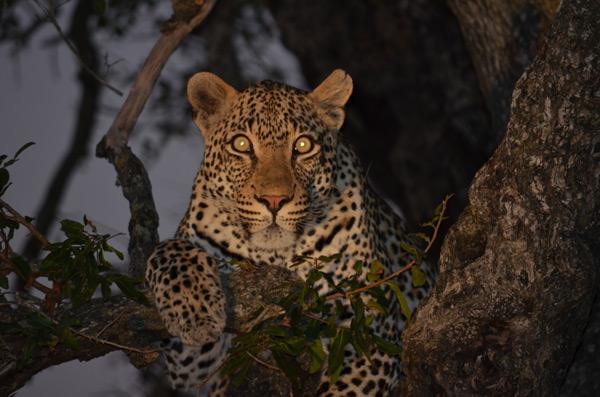 leopard on night drive safari