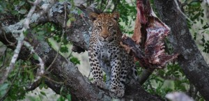 leopard western shores isimangaliso
