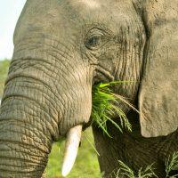 elephant eating hluhluwe