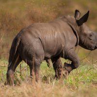 heritage tours & safaris baby rhino