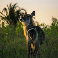 isimangaliso wetland park kudu sunset