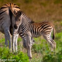 mother & new born zebra