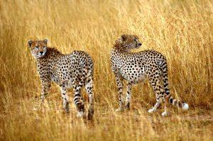 Cheetah 22