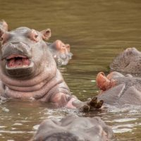 baby hippo st lucia